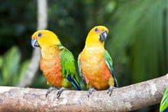 piękna pary jandaya parakeet papuga Zdjęcia Royalty Free