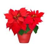 Piękna poinsecja w flowerpot Zdjęcie Royalty Free