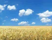 piękna pola pszenicy Zdjęcia Stock