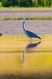 Piękna Popielata czapla na jeziorze Zdjęcia Stock