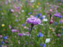 Piękna purpura kwiatu roślina na hayfield zdjęcia royalty free