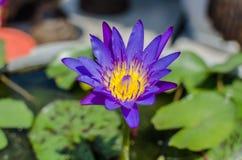 Piękna purpura waterlily, lotosowy kwiat w stawie lub Zdjęcia Stock