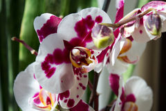 Piękna purpurowa orchidea - phalaenopsis Obrazy Royalty Free