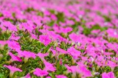 Pi?kna R??owa petunia kwitnie petuni hybrida w ogr?dzie W lecie z s?onecznym dniem zdjęcie stock