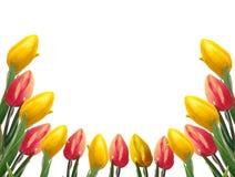 Piękna rama z tulipanami Zdjęcia Stock