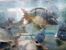 Piękna ryba w wodzie Zdjęcia Stock