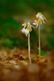 Piękna rzadka dzika storczykowa duch orchidea, Epipogium aphyllum Orchidea w lasowi Dwa kwitnie orchidei w natury siedlisku duch Obraz Stock