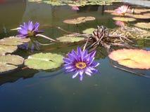 Piękna spokojna purpurowa stawowa leluja Obraz Stock