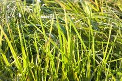 piękna trawa zieleni Fotografia Royalty Free