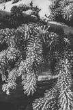 Piękna świerczyny gałąź zakrywająca z hoar mrozem zdjęcia stock
