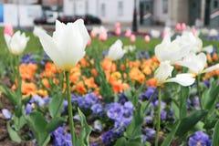 Piękna wiosna kwitnie przy parkiem Fotografia Royalty Free