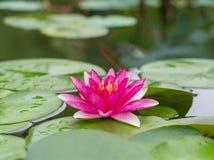 Piękna wodna leluja w stawie Obrazy Royalty Free