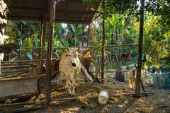 Pi?kna wsi wycieczka w tropikalnym wiejskim okr?gu, Siem Przeprowadza ?niwa, Kambod?a zdjęcie royalty free