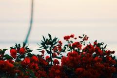 pi?kna zamkni?tych kwiat?w naturalne menchie wzrastali naturalny zdjęcie royalty free