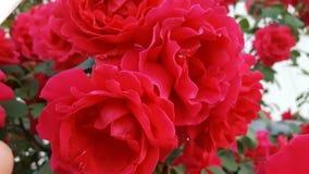 pi?kna zamkni?tych kwiat?w naturalne menchie wzrastali naturalny zdjęcia royalty free