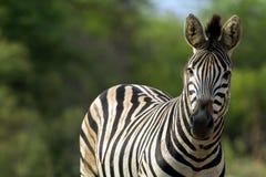 Piękna zebra Obrazy Royalty Free