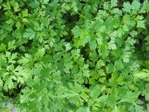 Piękna zieleń i świeża pietruszki tła fotografia obraz royalty free
