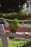 Piękna zielona papuga w naturze Fotografia Royalty Free