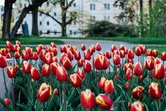 piękne bukietów tulipanów Obrazy Royalty Free