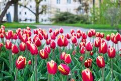 piękne bukietów tulipanów Obrazy Stock