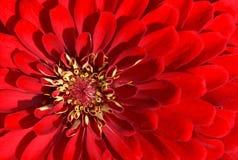 Piękne czerwone chryzantemy Fotografia Stock