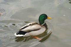 Piękne kaczki w zimnej wodzie 22 Zdjęcie Stock