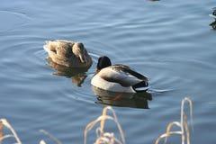 Piękne kaczki w zimnej wodzie 27 Obrazy Royalty Free