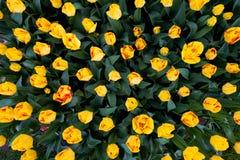 piękne kolor tulipany natury Obrazy Royalty Free