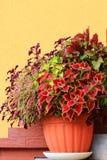 Piękne kolorowe pokrzywy Zdjęcie Stock