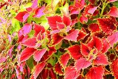 Piękne kolorowe pokrzywy Obraz Royalty Free