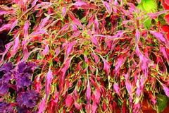 Piękne kolorowe pokrzywy Zdjęcia Stock