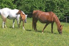 piękne konie Obrazy Royalty Free