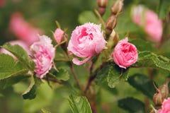 piękne kwiatów peoni menchie Zdjęcie Stock