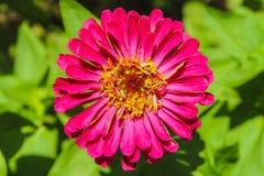 piękne kwiat purpurowy fotografia stock