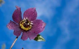 piękne kwiat purpurowy Obrazy Royalty Free
