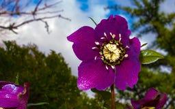 piękne kwiat purpurowy Obraz Stock