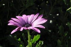 piękne kwiat purpurowy Zdjęcie Stock