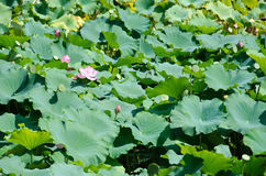 piękne kwiatu lotosu menchie Obraz Stock