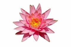 piękne kwiatu lotosu menchie Obrazy Stock