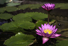 piękne kwiatu lotosu purpury Obraz Royalty Free