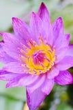 piękne kwiatu lotosu purpury Zdjęcie Stock