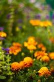 piękne kwiaty ogrodu Zdjęcia Stock