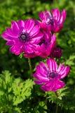 piękne kwiaty Purpura kwiaty, menchia kwiaty Zdjęcia Stock