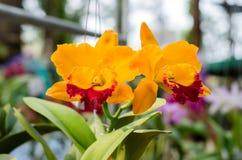 piękne kwiaty storczykowi Fotografia Stock