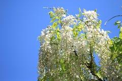 piękne kwiaty wisteria Fotografia Royalty Free