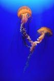 piękne meduz. Zdjęcia Stock