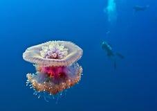 piękne meduz Zdjęcie Royalty Free