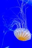 piękne meduz Fotografia Stock