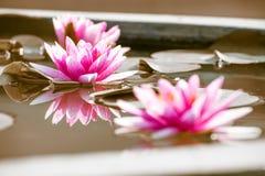 Piękne menchie waterlily, lotosowy kwiat w stawowym duetu brzmieniu lub Obraz Stock