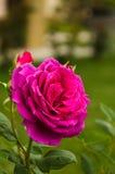 Piękne menchie wzrastali w ogródzie Fotografia Royalty Free